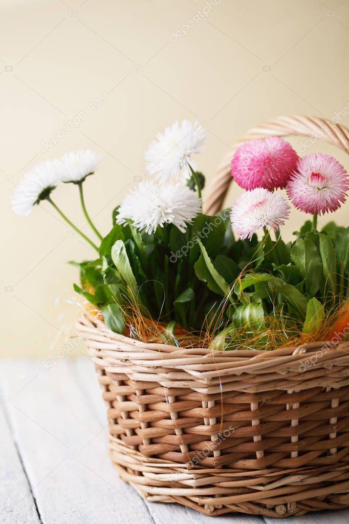 spring flowers Bellis perennis