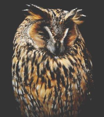 Sleepy owl portrait