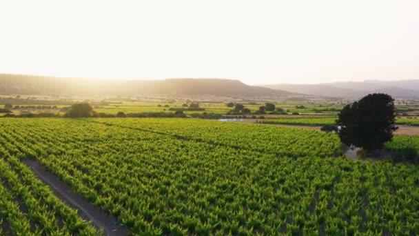Vyvýšený pohled na krajinu vinic při západu slunce