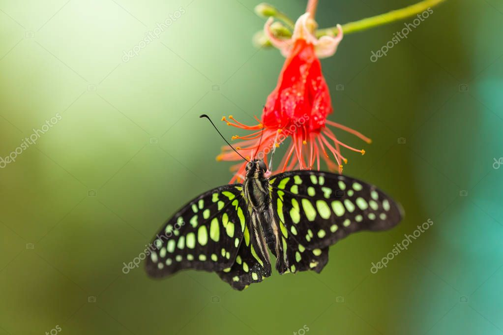 Tailed Jay-Graphium agamemnon