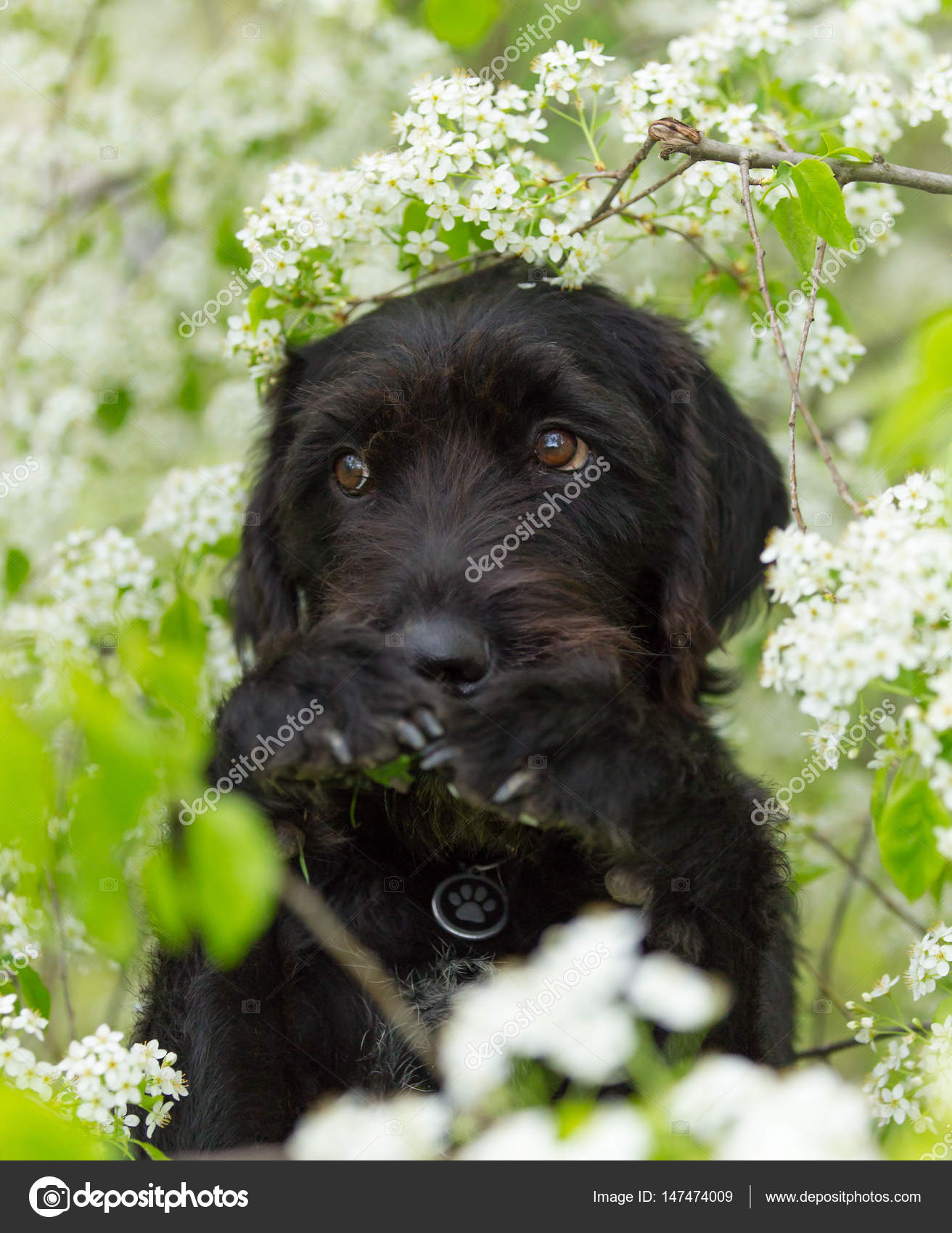 Cute black mutt dog with funny face stock photo kesu01 147474009 cute black mutt dog with funny face sitting on spring meadow photo by kesu01 voltagebd Gallery