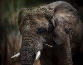 slon africký portrét