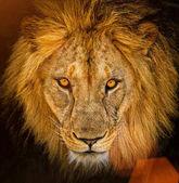Ritratto di un leone maschio africano