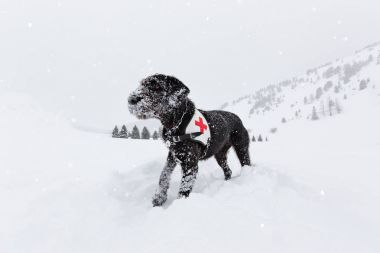 Black rescue dog searching on snow.