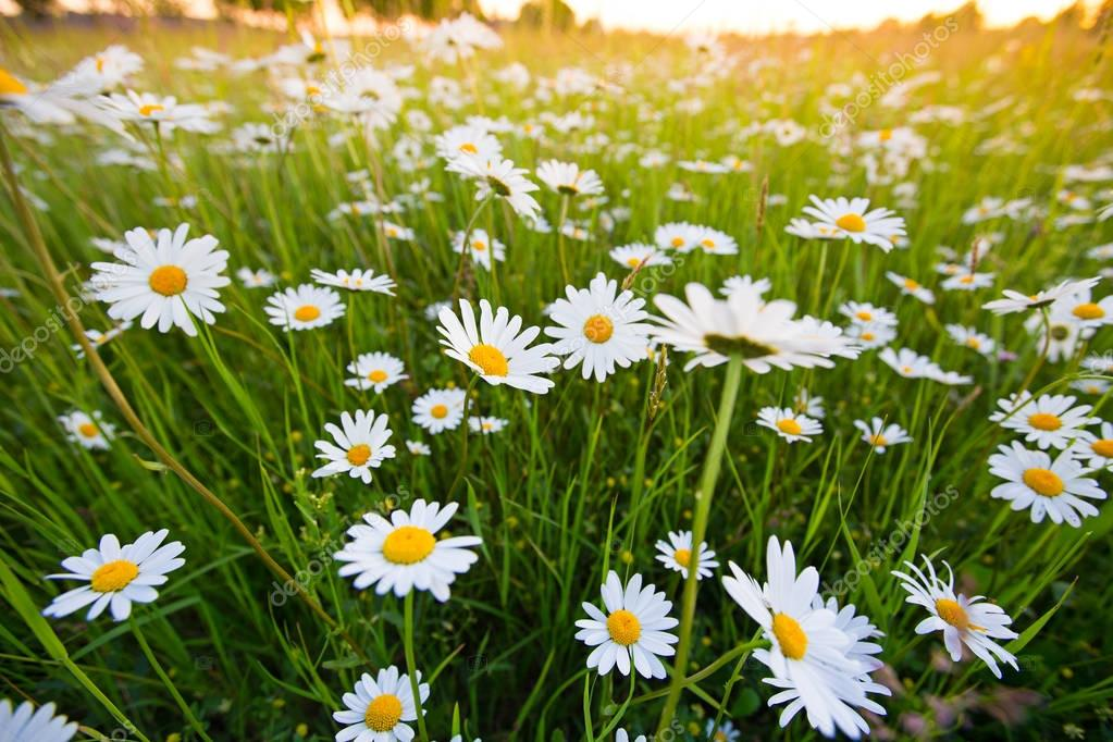 Chamomile meadow flowers. Beautiful nature scene with blooming chamomilles.
