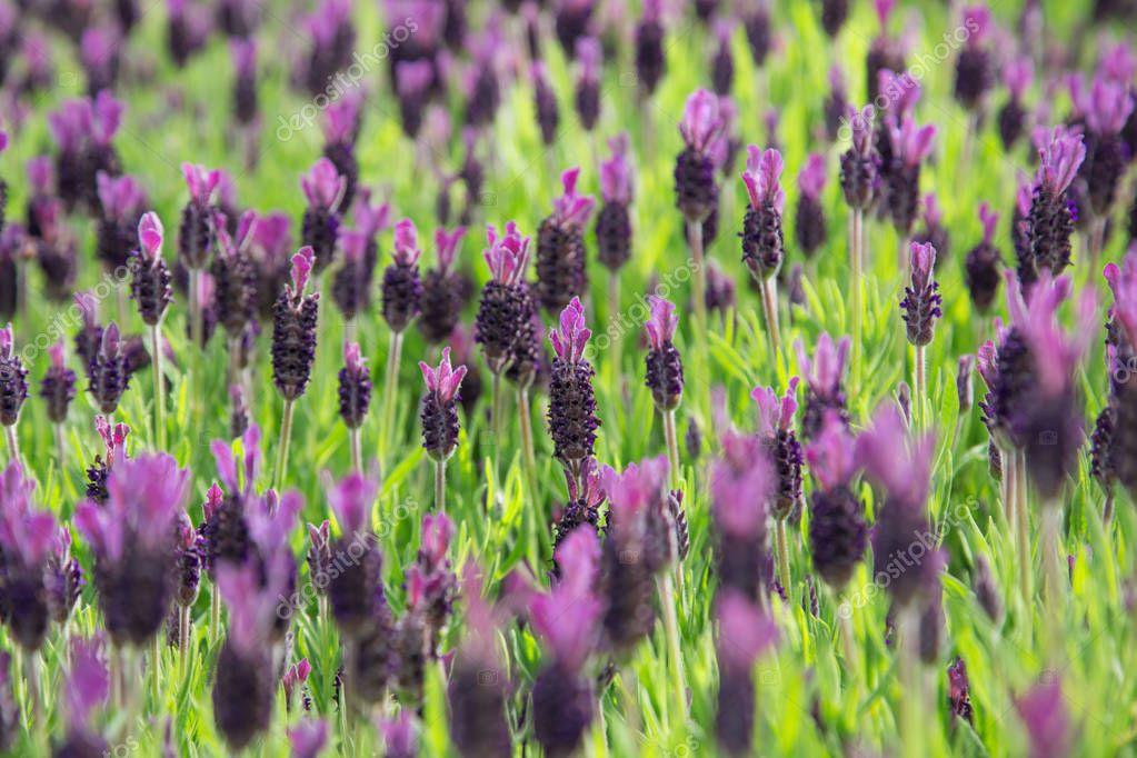 Lavender Flowers, close-up.