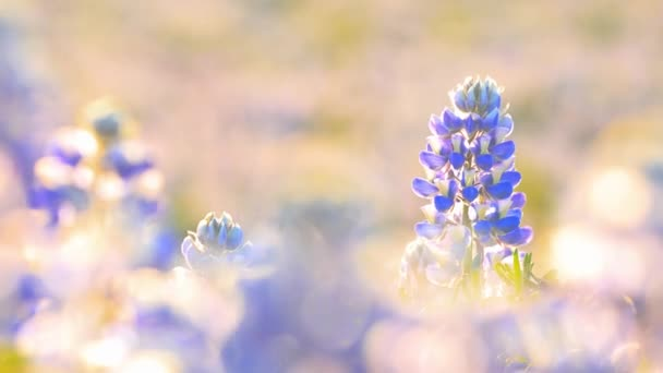 Typische isländische Landschaft mit blühenden Lupinenblumen.