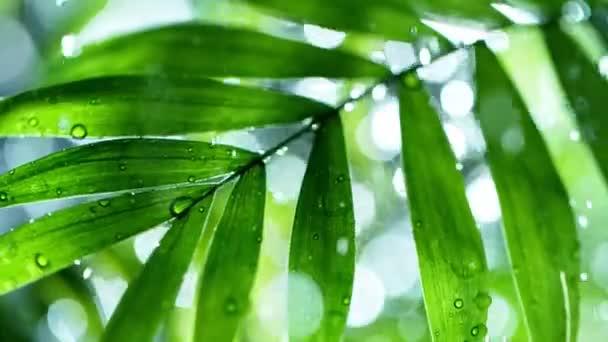 frische grüne Blätter mit fallenden Wassertropfen, Entspannung mit dem Konzept der Wassertropfen, Zeitlupe