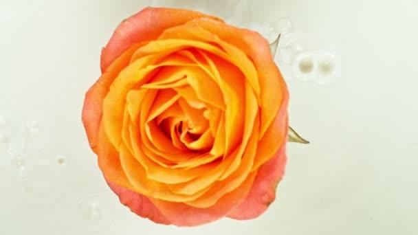 Schöne bunte Rosenblüte, die in Sahneflüssigkeit fällt. Super-Zeitlupe.