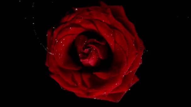 Schöne rote Rosenblüte Rotation mit Wasserspritzer. Super-Zeitlupe.