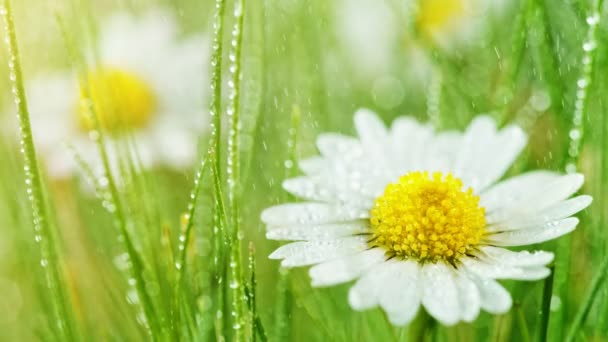 Chamomile flower with drops of water on the green background.