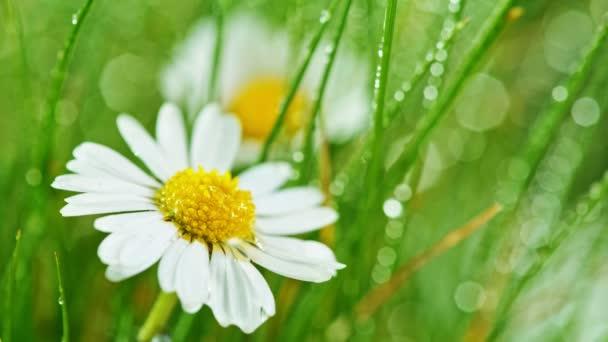Heřmánkový květ s kapkami vody na zeleném pozadí.