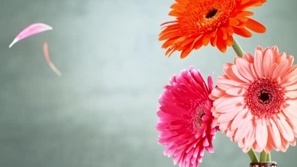 Beautiful colorful gerbera daisy with falling petals. Super slow motion shot.
