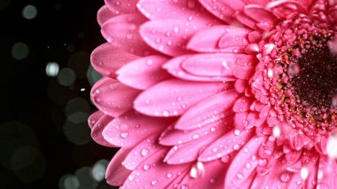Beautiful colorful gerbera daisy with water drops falling.