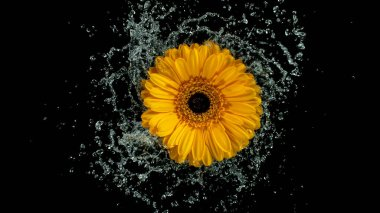 Beautiful colorful gerbera daisy rotation with water splash.