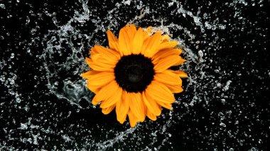 Beautiful sunflower bloom rotation with water splash