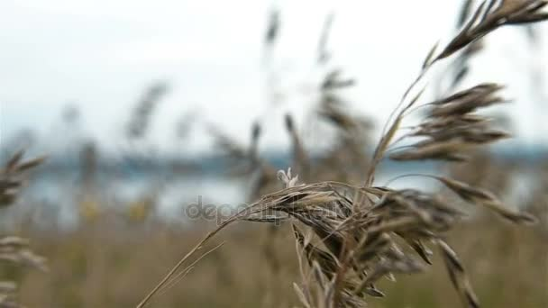 Field Of Wild Wheat. Slow Motion Effect
