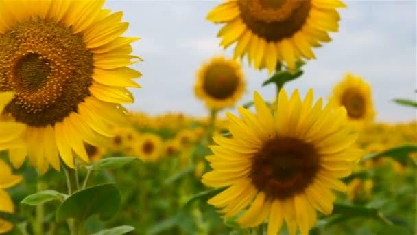 Kvetoucí slunečnice na pozadí oblohy. Detailní záběr