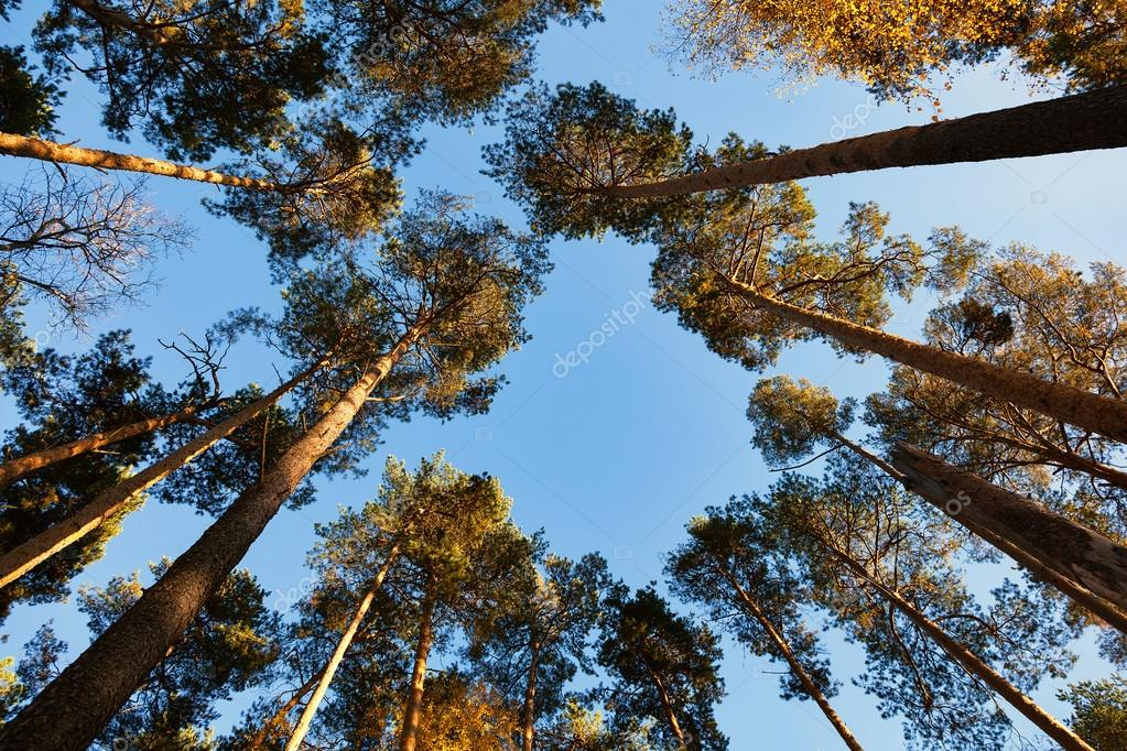 tall pine trees, view from the bottom up