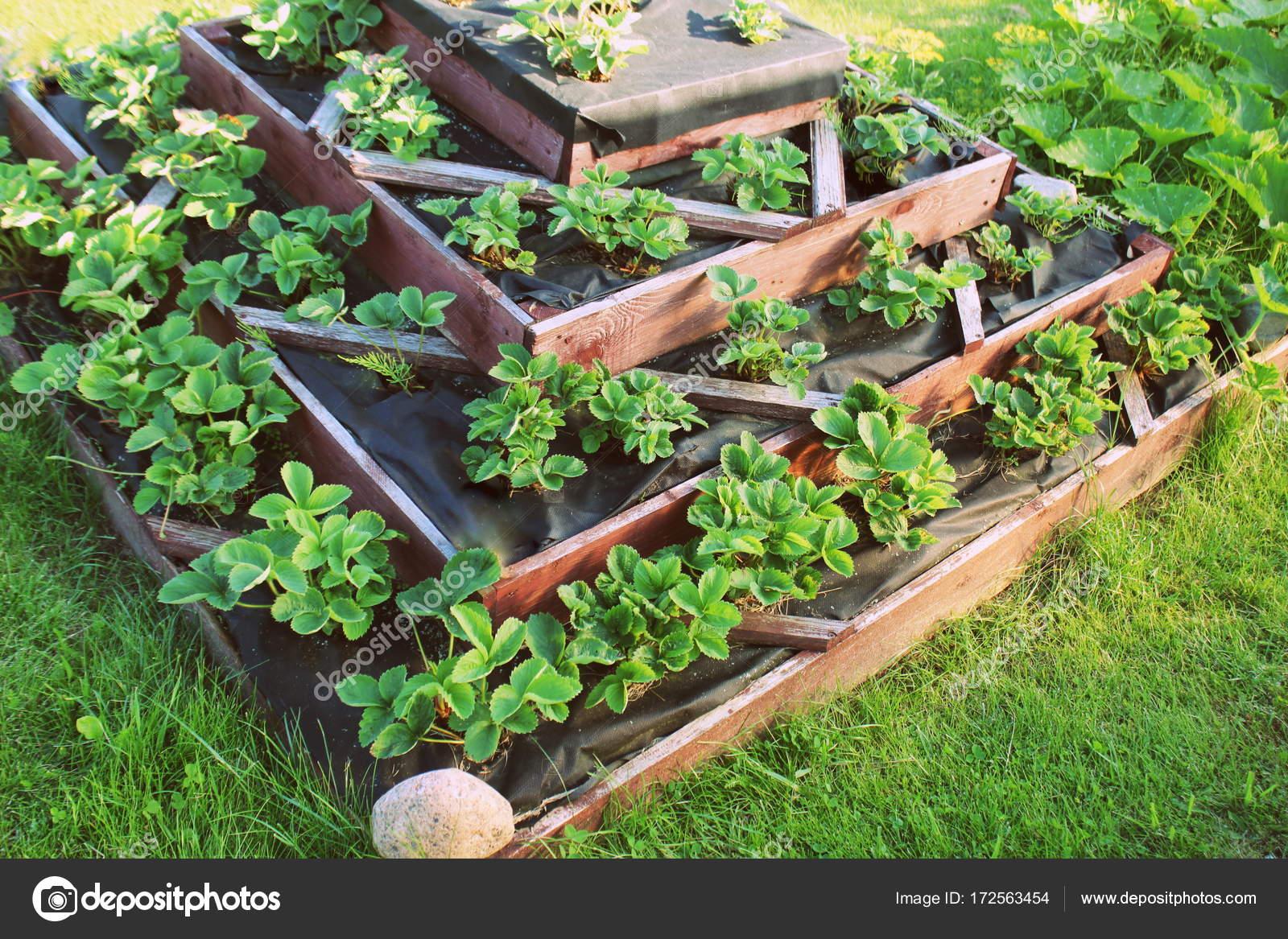 Erdbeeren Im Garten Hochbeet Aufwachst Pyramide Angehoben Garten
