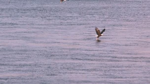 Slow-Motion-Weißkopf-Seeadler fängt Fisch
