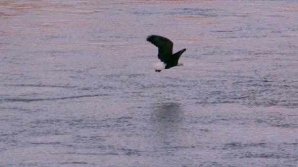 Slow Motion Weißkopf-Seeadler fliegen ab mit Fisch