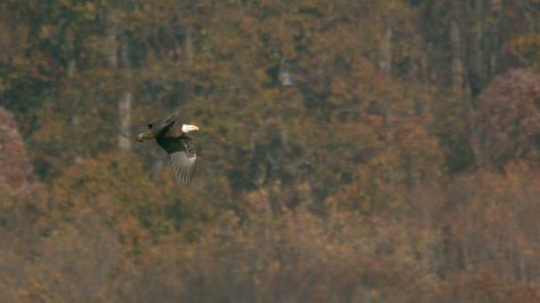 lassú mozgás kopasz sas szárnyal