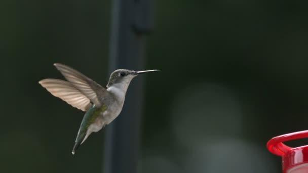 Zpomalený pohyb kolibřík, létající