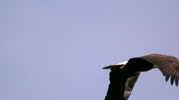 Slow-Motion soaring Weißkopfseeadler closeup