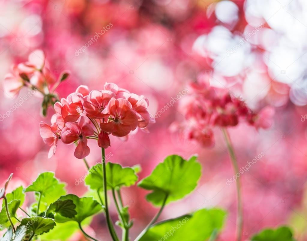 Red pelargonium flowers and blurred red leaves on the background