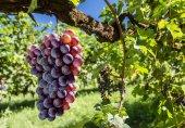 Fotografie vinné hrozny na vinici