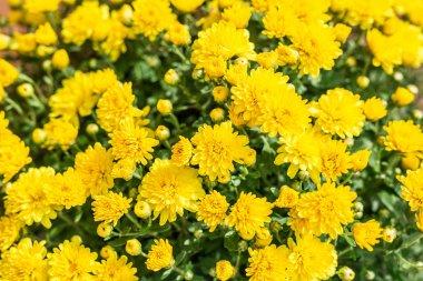 Yellow chrysanthemum flowers. Nature background.