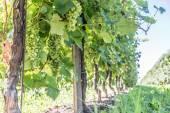 Wine grapes on the vine.