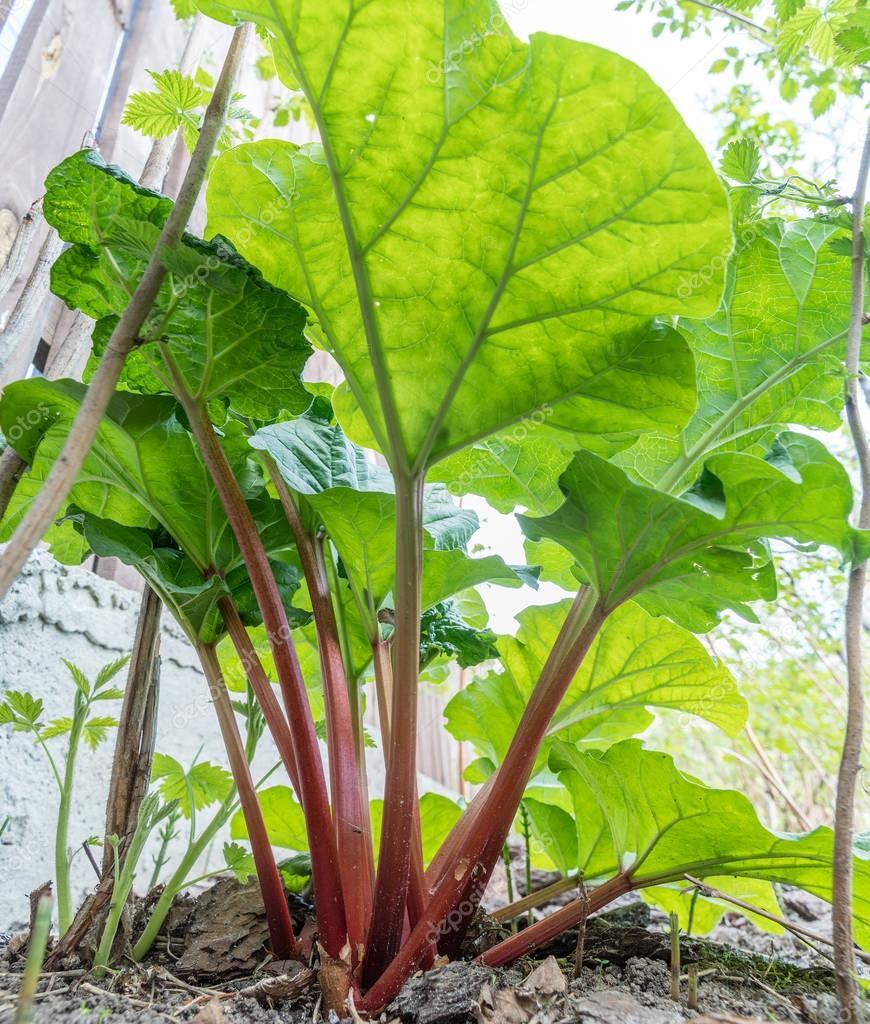 plant de rhubarbe dans le jardin gros plan photographie valentyn volkov 167138610. Black Bedroom Furniture Sets. Home Design Ideas
