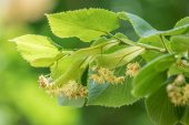 Fotografie Linden tree in blossom. Nature background.
