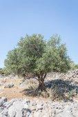 olivovníky zahrada
