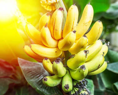 Ripe bunch of bananas on the palm.