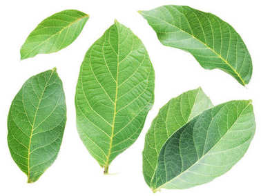 Collection of walnut leaves on white background.