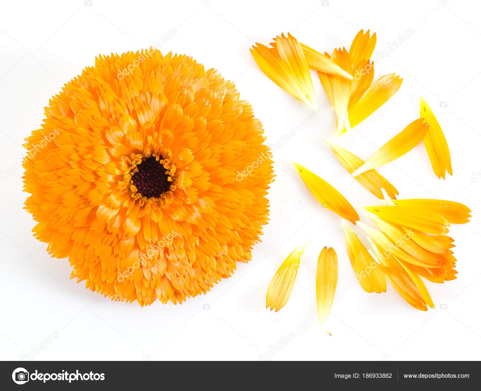 Calendula or marigold flowers and petals on the white background calendula or marigold flowers and petals on the white background stock photo mightylinksfo
