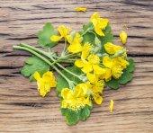Fotografie Větší Jarní květina, swallowwort na dřevěné pozadí