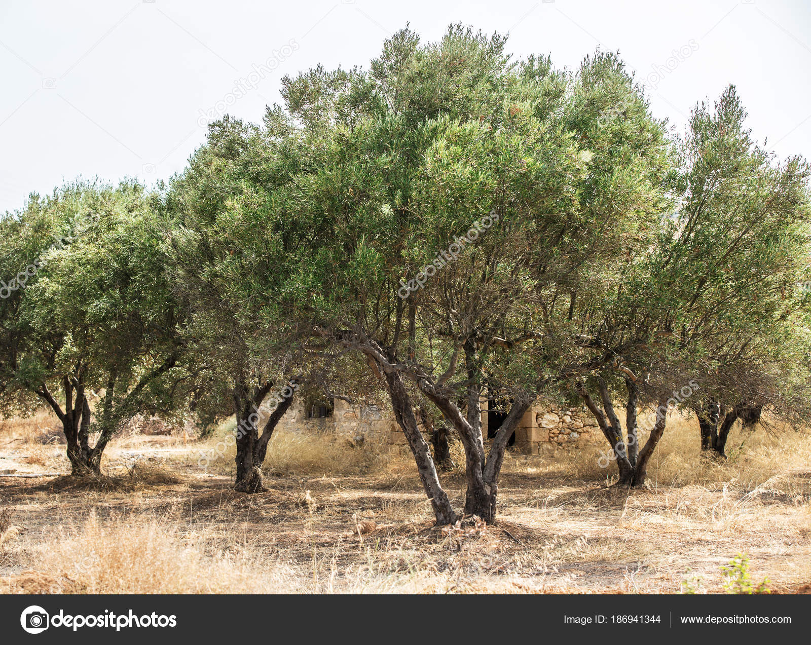 Olive Trees Garden. Long Row Of Trees On The Sky Background. U2014 Photo By  Valentyn_Volkov