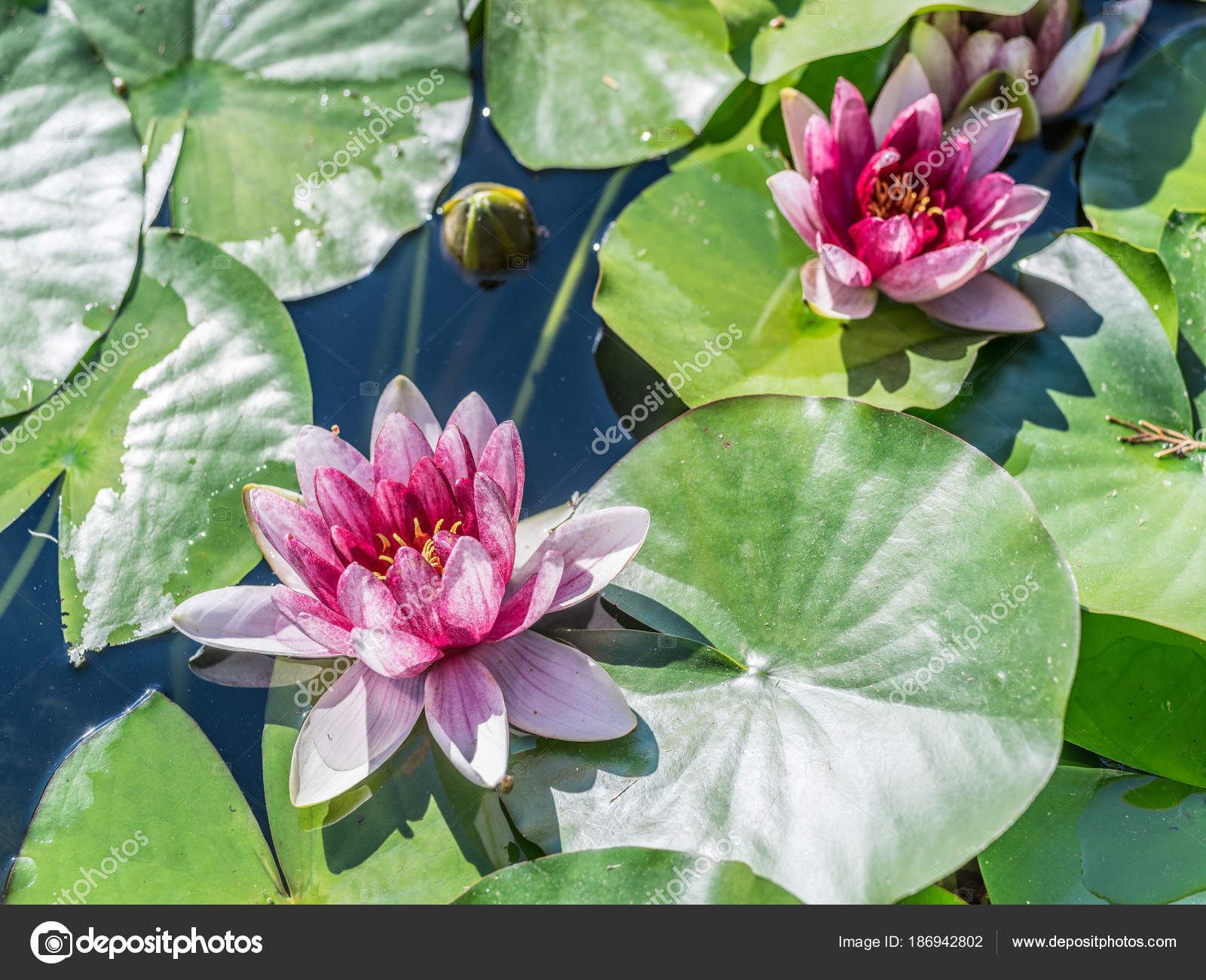 Pink water lily flowers with green leaves in pond stock photo pink water lily flowers with green leaves in pond stock photo izmirmasajfo