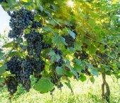 Fotografie Wine grapes on the vine.