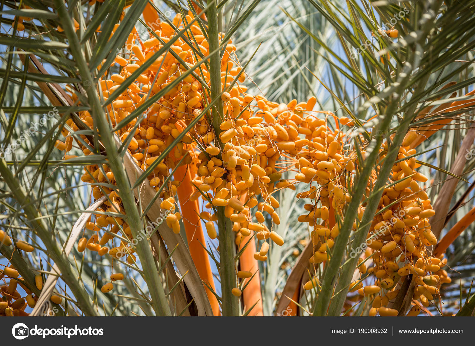 Delicious mûrs dates fruits et branche de palmier vert - Illustration  vectorielle | Branch vector, Save the date posters, Fruit illustration