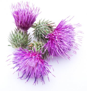Milk thistle (Silybum) flowers isolated on the white background.