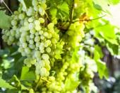 Fotografie Ripe Kish-mish grapes on the vine.