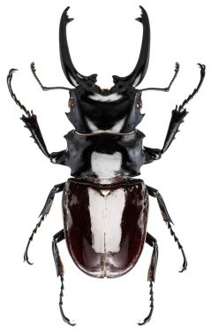 Male stag beetle on the white background.