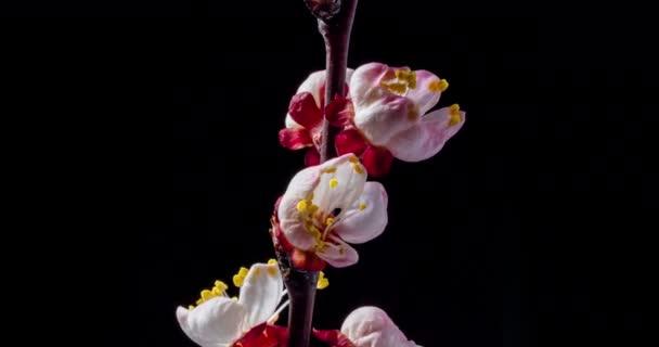Jarní květiny. Meruňkové květy na meruňky větev rozkvést na černém pozadí, otočit ve směru hodinových ručiček.