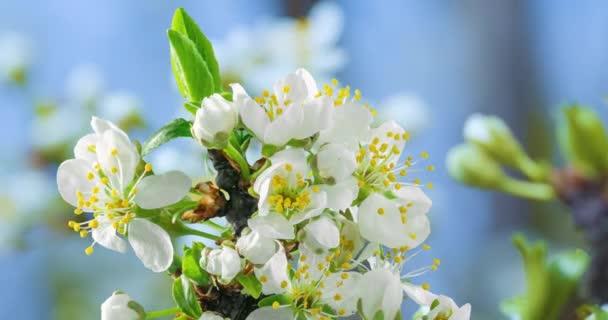 Jarní květiny. Švestkové květy na švestkové větvi kvetou na přírodním pozadí. Video Časové prodlevy.