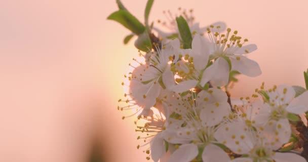 Jarní květiny. Švestkové květy na švestkové větvi proti růžovému západu slunce